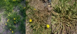 Killing Dandelions 300x132 - Dandelions — Guide For Effective Weed Removal With Herbicides