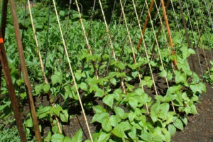 Pole Beans Growing 300x200 - Grow Green Beans in Your Garden