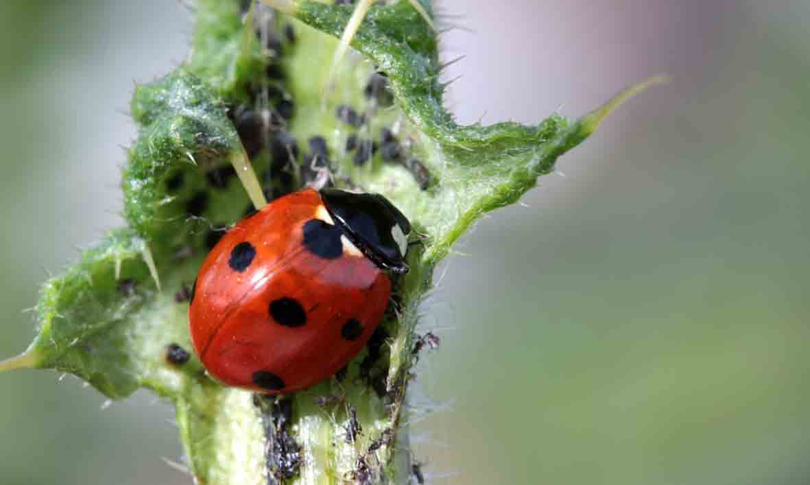 beneficial-bugs-for-garden