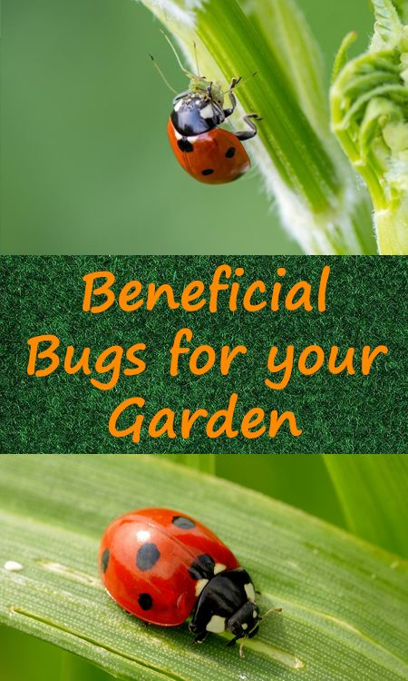 beneficial bugs for your garden - Good Bugs — Bad Bugs — Full Bugs Guide For Your Garden