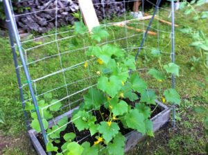 cucumber in raised bed 300x224 - Growing The Best Cucumbers in Your Garden