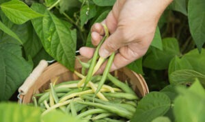 harvest green bean 300x178 - Grow Green Beans in Your Garden