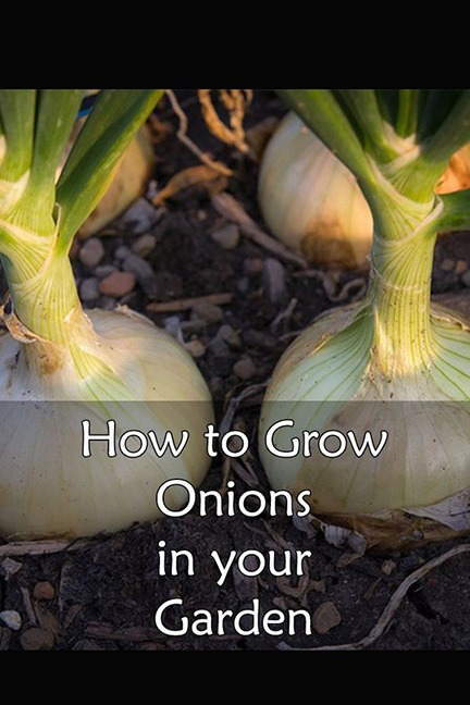 how to grow onions in your garden 1 - How to Grow Healthy Onions in Your Garden