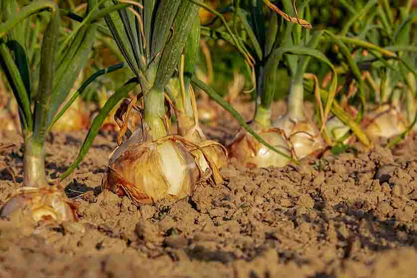 how-to-grow-onions