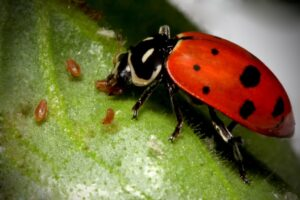 ladybug eating aphids 300x200 - Good Bugs — Bad Bugs — Full Bugs Guide For Your Garden