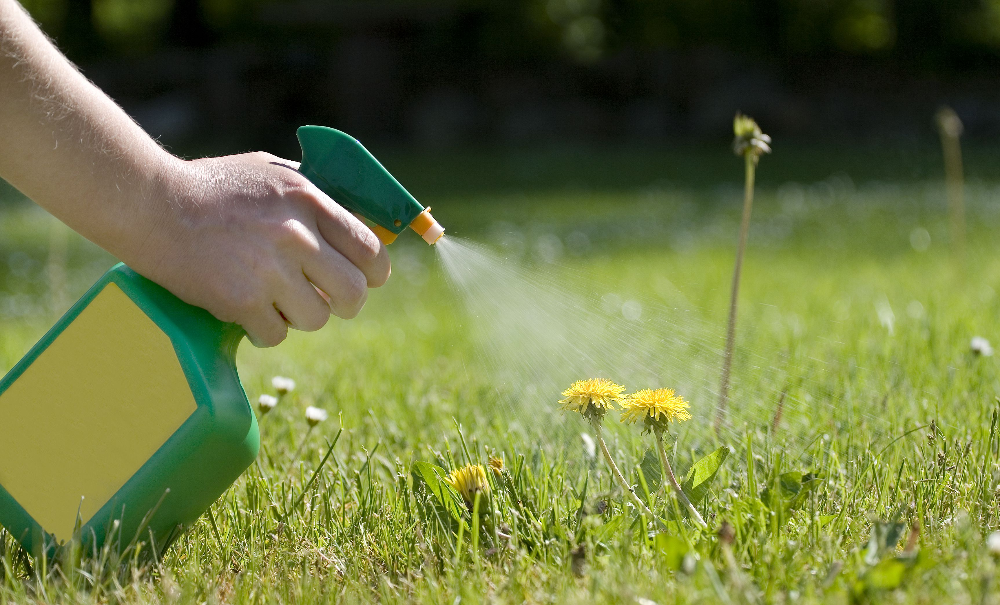 spraying the dandelions - Dandelions  —  Guide For Effective Weed Removal With Herbicides