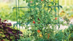 tomato wire cage 300x169 - How to Grow Tomatoes in Your Garden