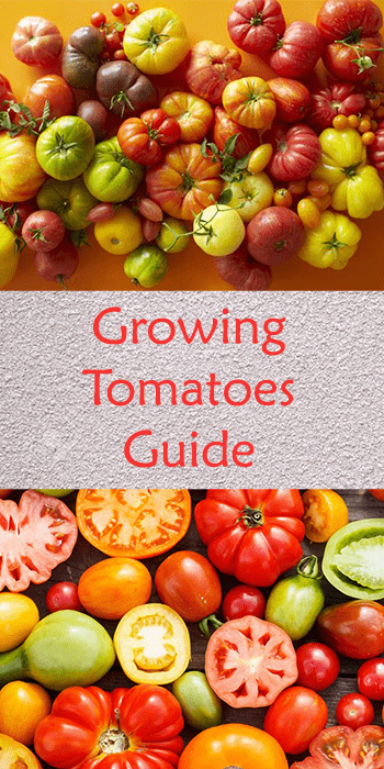 tomato3 - How to Grow Tomatoes in Your Garden