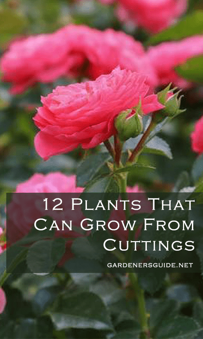 12 plants that can grow from cuttings - 12 Plants You Can Easily Clone From Cuttings