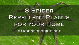 8 Spider Repellent Plants for your Home