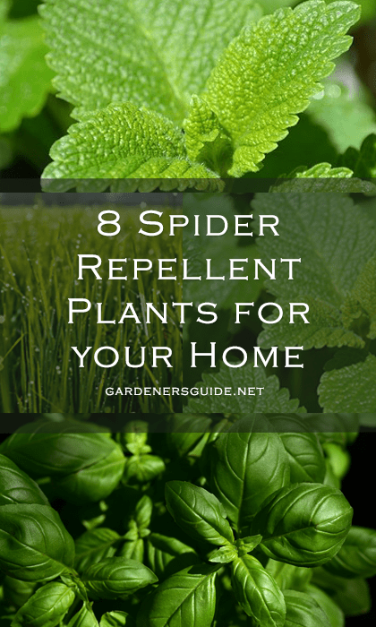 8 spider repellent plants3 - 8 Spider Repellent Plants for your Home