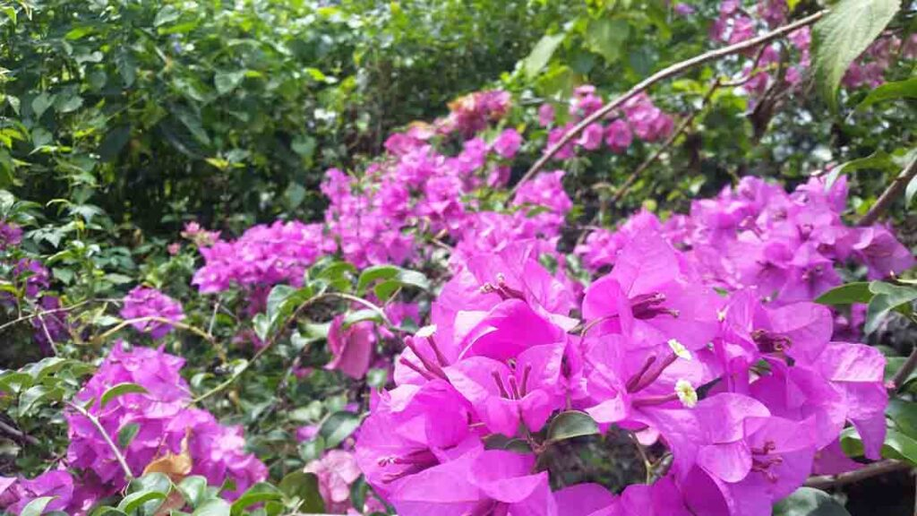 Bougainvillea-drought-tolerant-plants