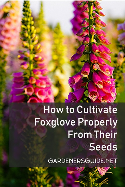 How to Cultivate Foxglove Properly From Their Seeds