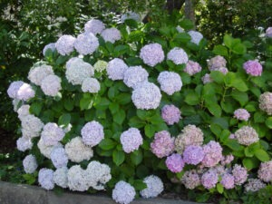 Hydrangea 300x225 - 12 Plants You Can Easily Clone From Cuttings