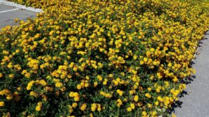 Lantana 300x169 - 12 Common Plants That Can Survive In Drought