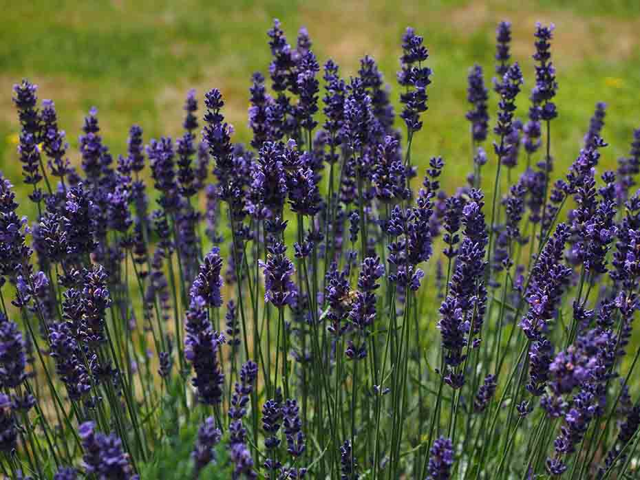 lavender-plants-that-can-grow-from-cuttings