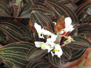 Ludisia Discolor 300x225 - 20 Best Varieties of Orchids for Indoors
