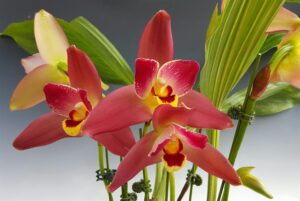 Lycaste Orchid 300x201 - 20 Best Varieties of Orchids for Indoors