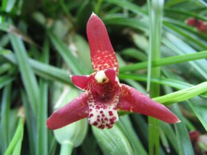 Maxillaria Orchid 300x225 - 20 Best Varieties of Orchids for Indoors