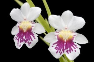 Miltonia Orchid 300x199 - 20 Best Varieties of Orchids for Indoors