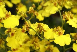 Oncidium Orchids 300x201 - 20 Best Varieties of Orchids for Indoors