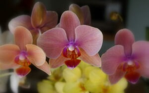 Phalaenopsis orchid 300x188 - 20 Best Varieties of Orchids for Indoors