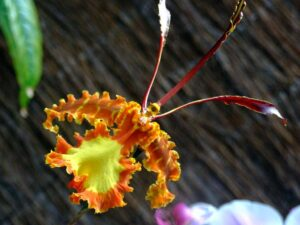 Psychopsis Orchid 300x225 - 20 Best Varieties of Orchids for Indoors