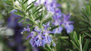 Rosemary 300x169 - 12 Common Plants That Can Survive In Drought