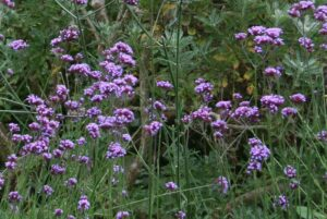 Verbena 300x201 - 12 Common Plants That Can Survive In Drought