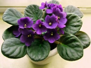 african violet 300x224 - 10 Best Cat Friendly Houseplants For Your Home