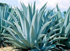 agave 300x218 - 12 Common Plants That Can Survive In Drought