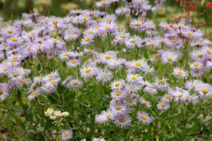 aster plant 300x200 - 12 Plants You Can Easily Clone From Cuttings
