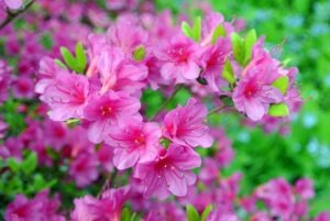 azalea 300x201 - 12 Plants You Can Easily Clone From Cuttings