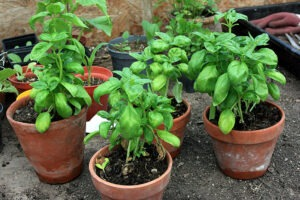 basil-spider-repellent-plants