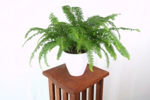 boston fern 300x200 - Best 10 Houseplants When You Have Cats in Your Home