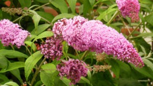 butterfly bush 300x169 - 12 Plants You Can Easily Clone From Cuttings