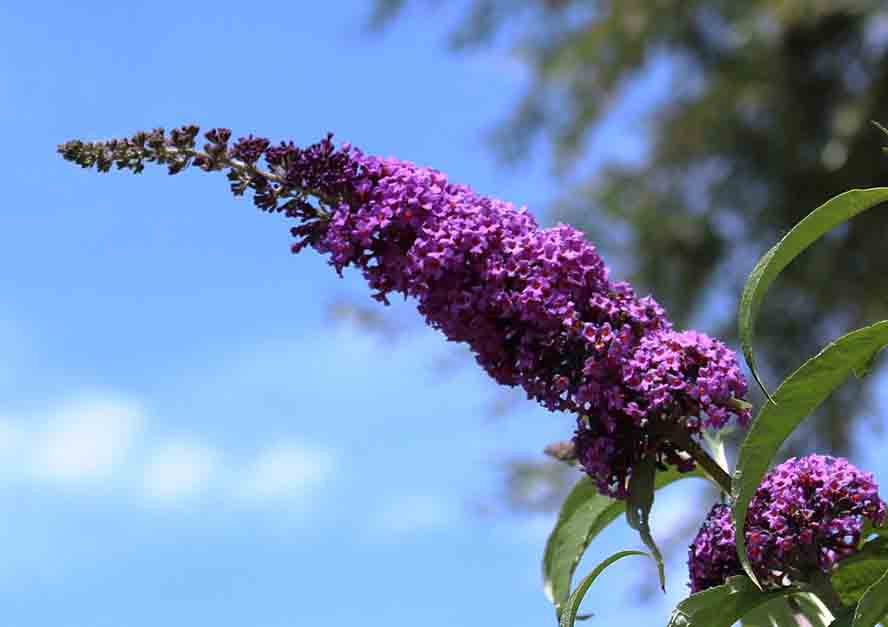 butterfly-bush-plants-that-can-grow-from-cuttings