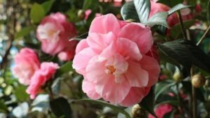 camelia2 300x169 - 12 Plants You Can Easily Clone From Cuttings