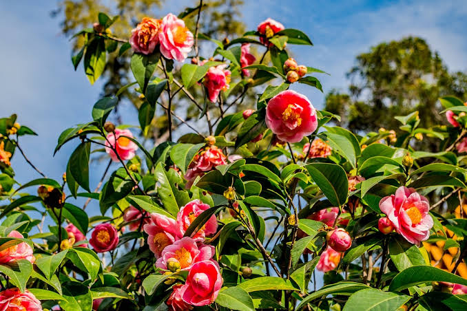 camellia-plants-that-can-grow-from-cuttings