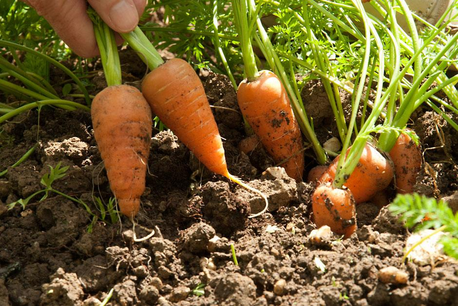carrot RHS PUB0027899 940x627 - Growing Carrots in Your Garden