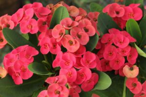 crown of thorns euphorbia 300x200 - 12 Common Plants That Can Survive In Drought