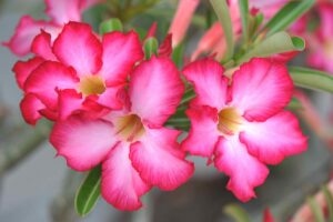 desert rose 300x200 - 12 Common Plants That Can Survive In Drought