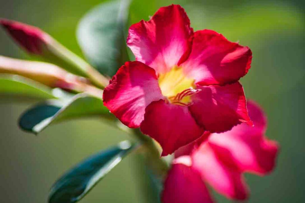 desert-rose-drought-tolerant-plants