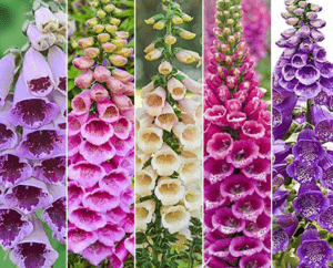 foxglove varieties 1 300x242 - How to Cultivate Foxglove Properly From Their Seeds