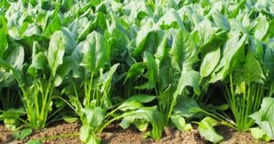 growing spinach field FB 300x158 - Plant These 15 Delicious Vegetables That Can Grow Without Full Sun