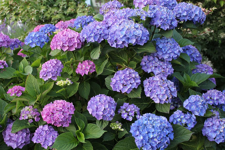 hydrangea-plants-that-can-grow-from-cuttings