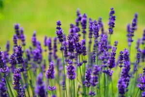 lavender 300x200 - 12 Common Plants That Can Survive In Drought