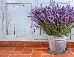 lavender-spider-repellent-plants