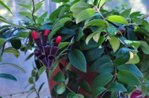 lipstick plant 300x199 - 10 Best Cat Friendly Houseplants For Your Home