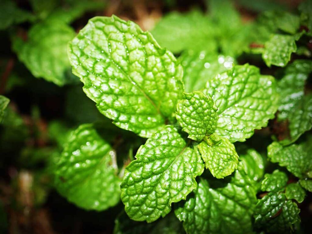 peppermint-spider-repellent-plants